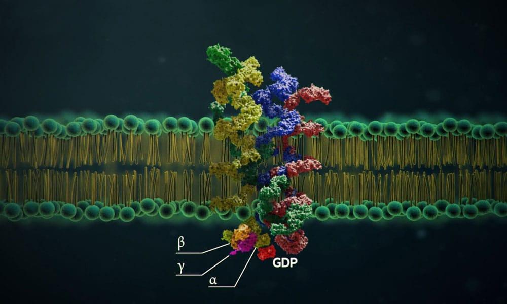Role of LH on folliculogenesis medical & education particelle alfa beta e gamma in azione sul recettore