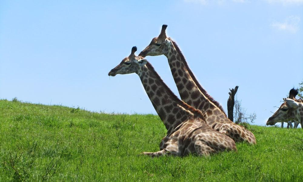 sud africa event planet group incentive travel dettaglio giraffe nella riserva nazionale